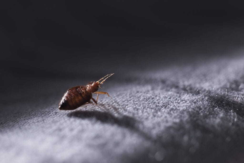 Bed bug in hotel room at night
