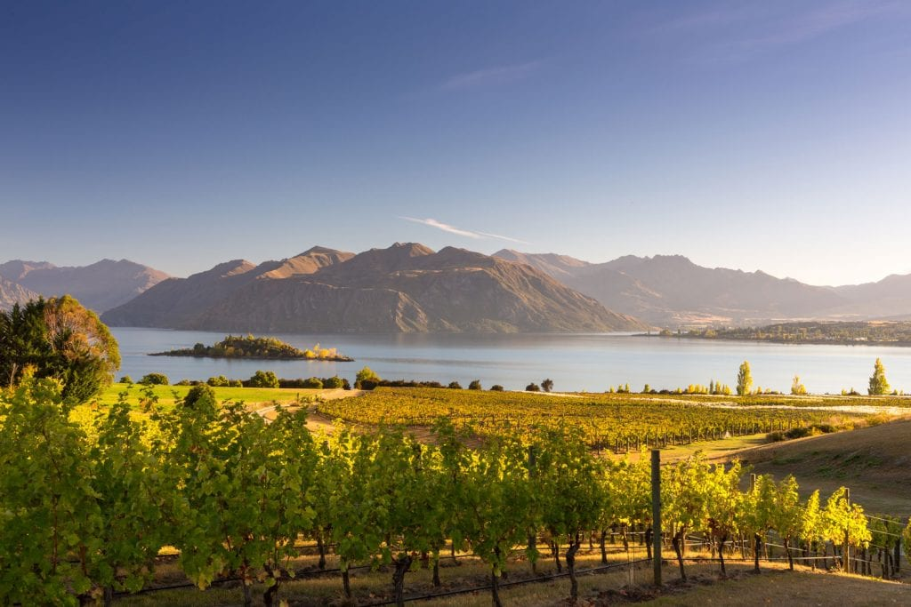 wanaka vineyard in the early morning