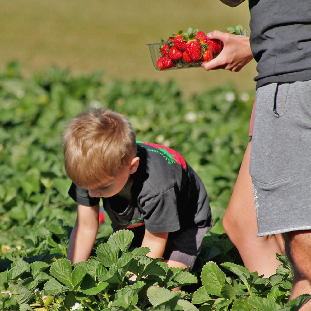 young boy picking strawberries in the strawberry fields