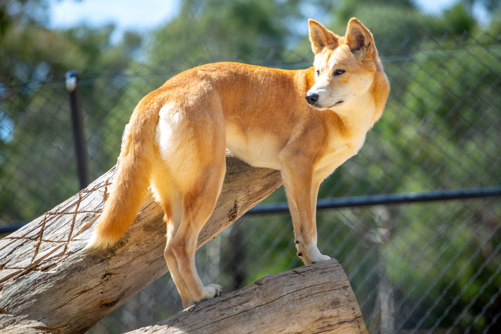 dingo in ballarat wildlife park