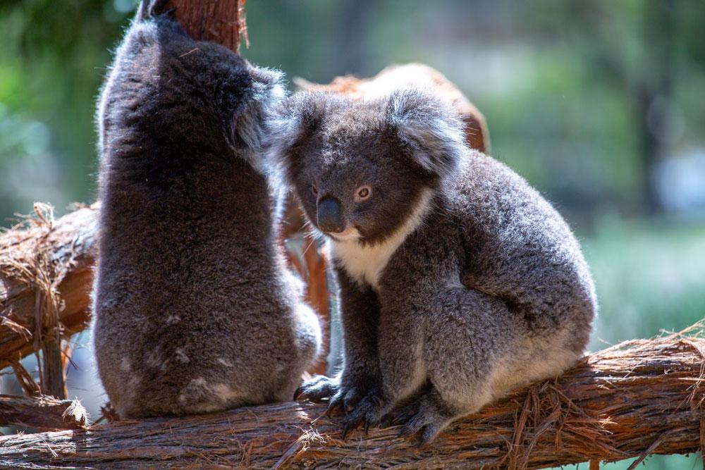 ballarat wildlife park koalas