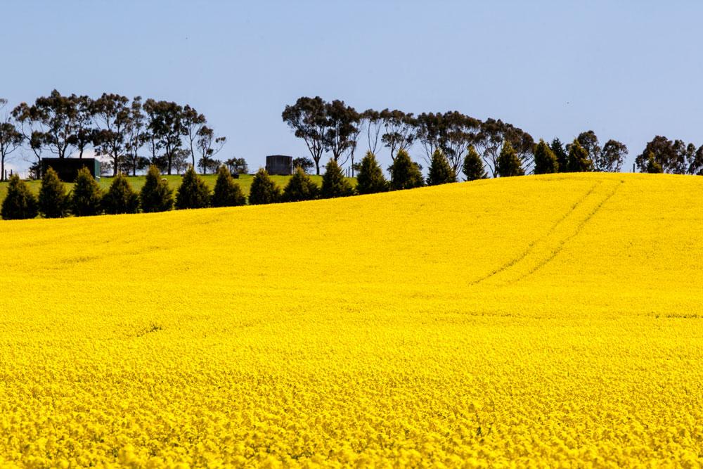 canola fields near creswick