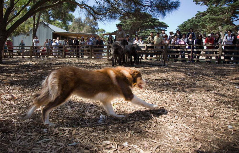 Churchill island sheep dog